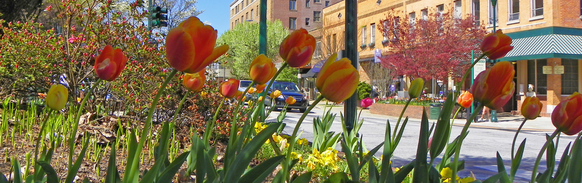 Tulips in Downtown